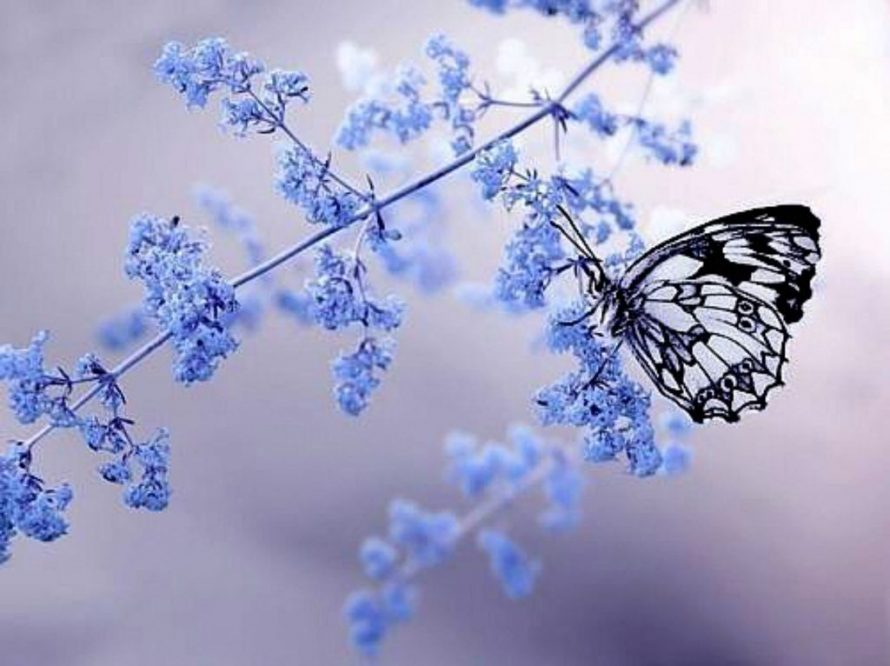 beautiful black blue and purple butterfly