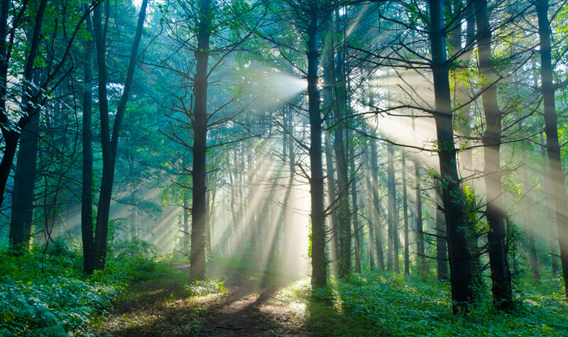 Sunrays shinging through the forest trees
